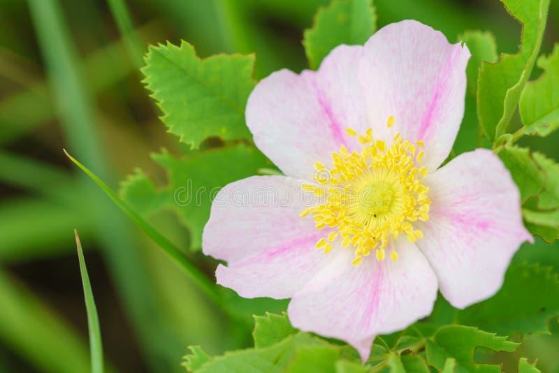 Wild prairie rose - Rosa arkansana stock image