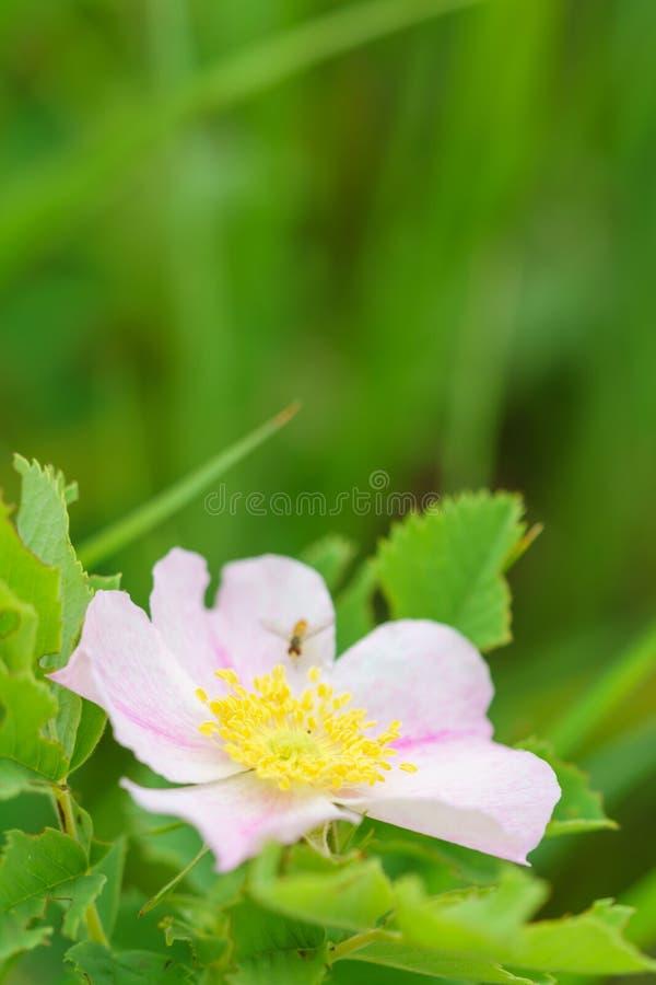 Wild prairie rose - Rosa arkansana stock photography