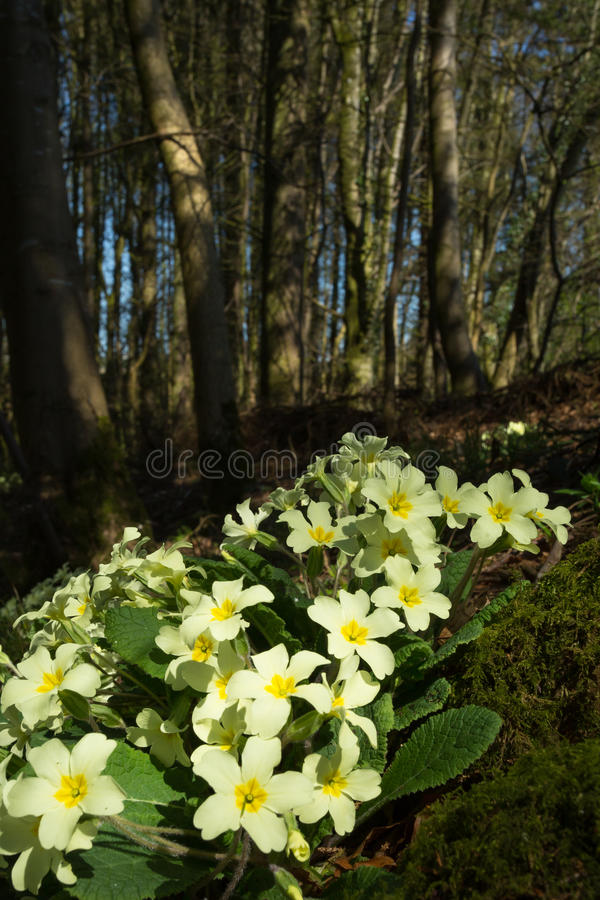 Wild Primroses (Primula vulgaris) in a woodland setting stock photography