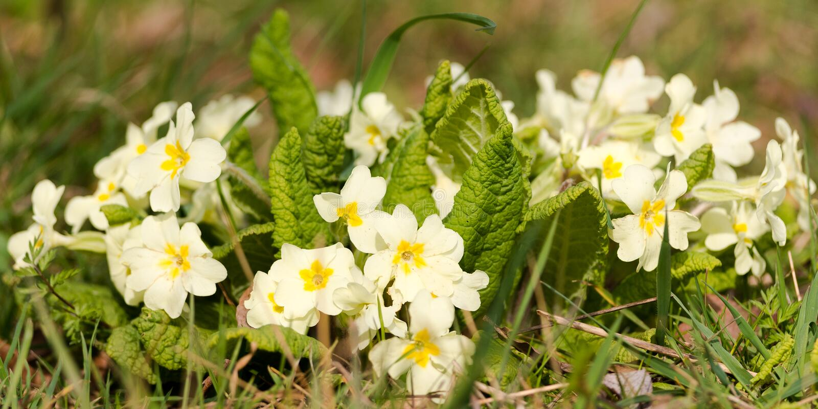 Wild Primroses In Spring stock photos