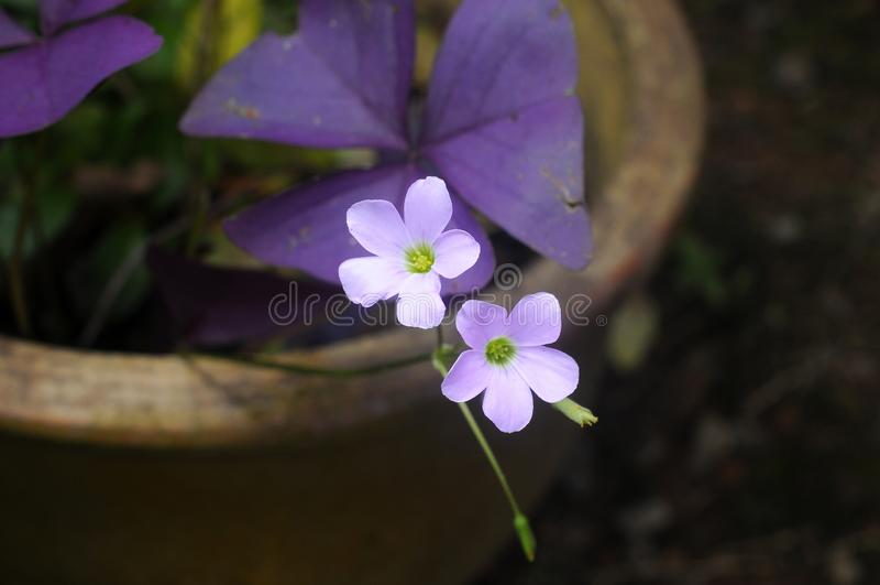 Close up wild purple flower on blurred background. Wild purple close flower blurred background small bokeh royalty free stock photo