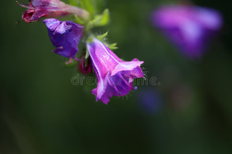 Wild purple flower macro. Shallow DOF. royalty free stock photography
