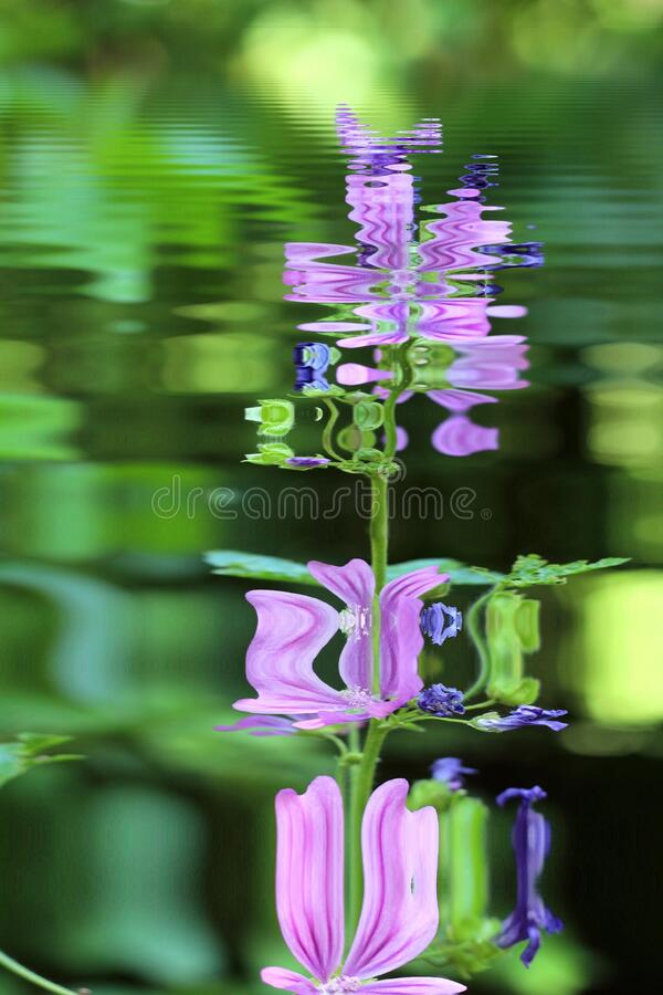 Wild purple flowers reflection in water. Wild purple flowers close up in a field in summer flowers reflecting in water stock photos