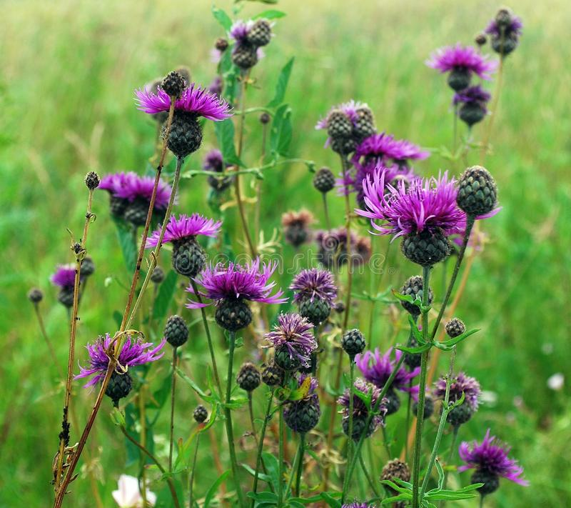 Wild purple flowers in the grass. Wild purple flowers in the green grass stock images