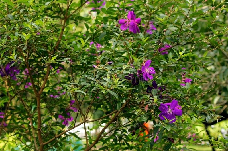 Wild Purple Flowers in Winter. Wild purple flowers blooming on the plant with lush green leaves in the botanical garden, india royalty free stock photos