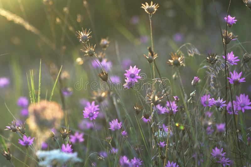 Wildflowers meadow at sunset. Purple summer wildflowers in meadow with beautiful sunlight closeup photographed at golden hour during the sunset royalty free stock photo