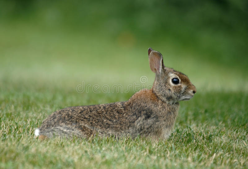 Download Wild rabbit stock image. Image of scared, timid, fear - 15324239