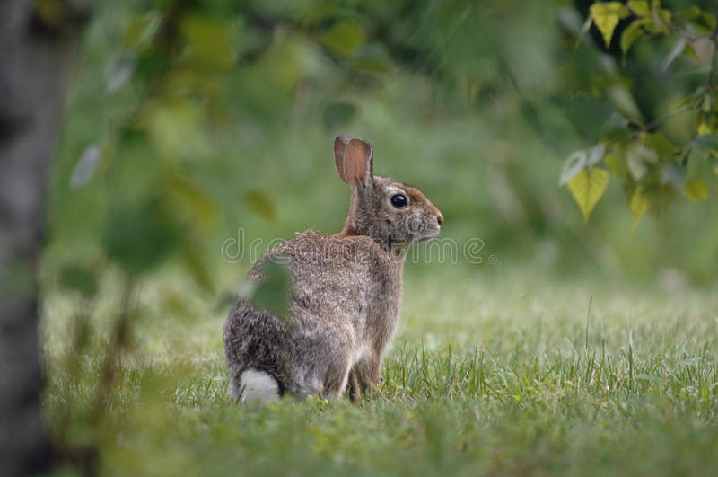Download Wild rabbit stock photo. Image of mammal, easter, female - 15324262