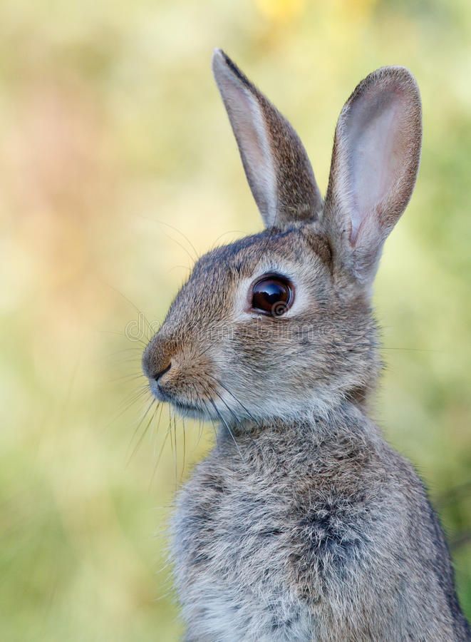 Download Wild rabbit stock image. Image of rodent, fauna, screen - 15641727