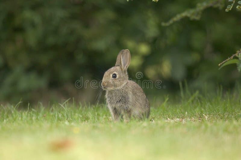 Download Wild Rabbit Royalty Free Stock Image - Image: 1723766