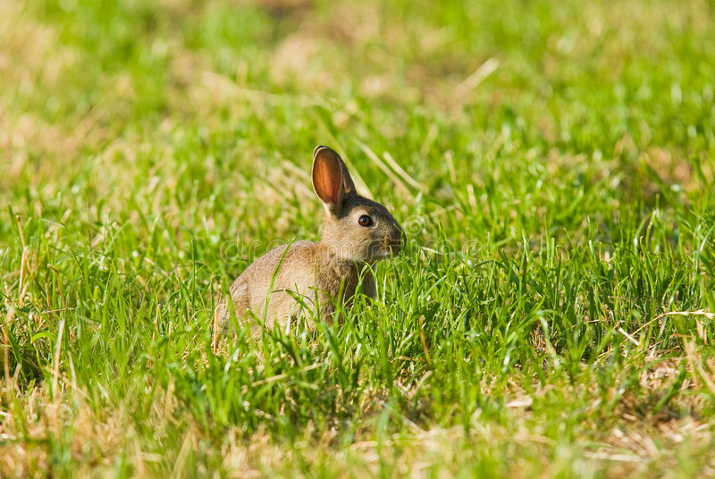 Download Wild Rabbit stock image. Image of united, wildlife, nature - 7802511