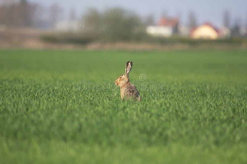 Download Wild Rabbit Royalty Free Stock Photos - Image: 9060698