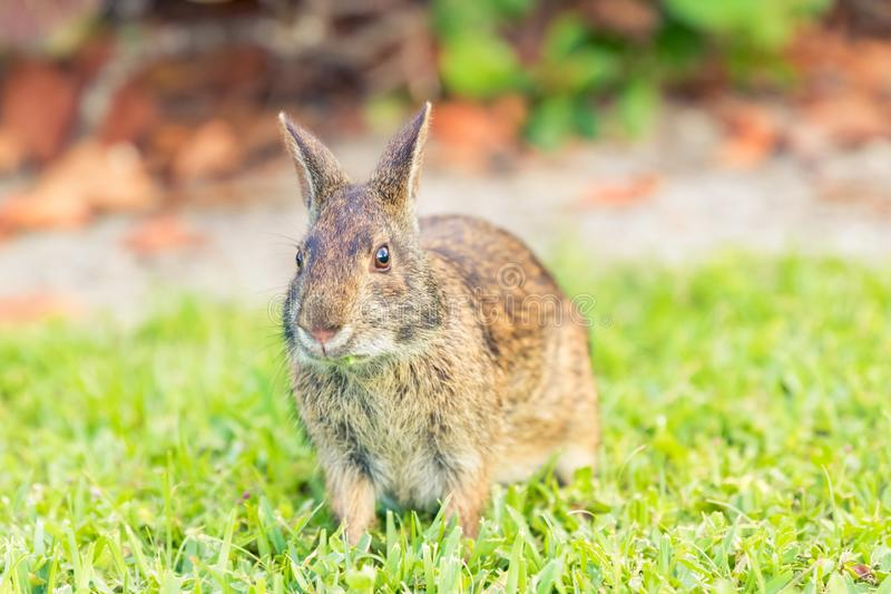 Wild rabbit eating grass in a field. Close up front angle view. A wild brown North American rabbit is eating a blade of grass in a field meadow. The rabbit is royalty free stock photography
