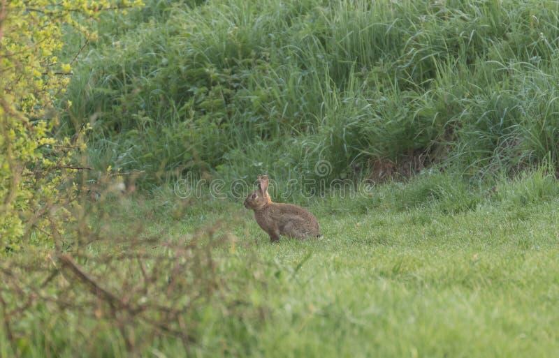 Wild rabbit in the grass. stock photo