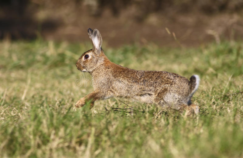 Wild rabbit jumping. Wild cute rabbit is jumping on meadow stock images