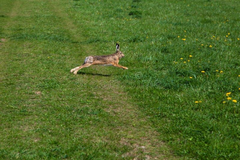 Wild rabbit runs over gras. Wild rabbit runs on green gras in the spring stock image