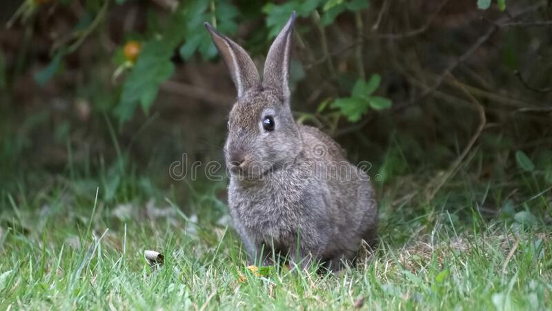 View of a wild rabbit on the gras. Wild rabbit in the wild stock images