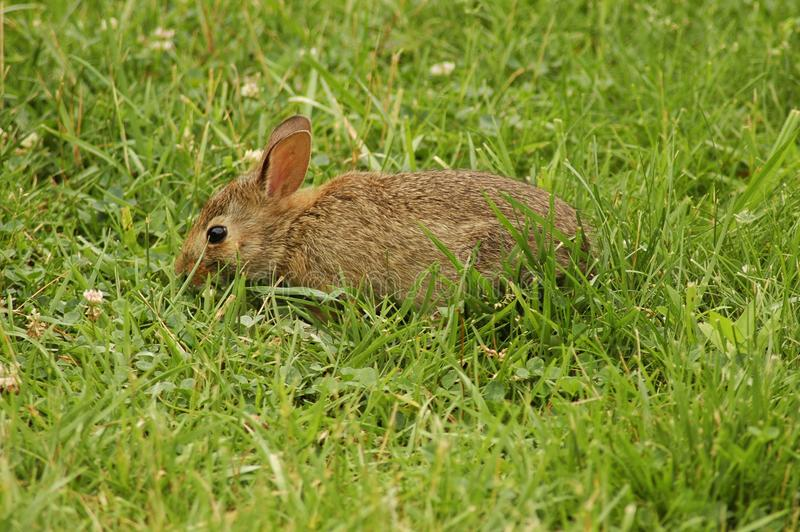 Wild Rabbit royaltyfri fotografi