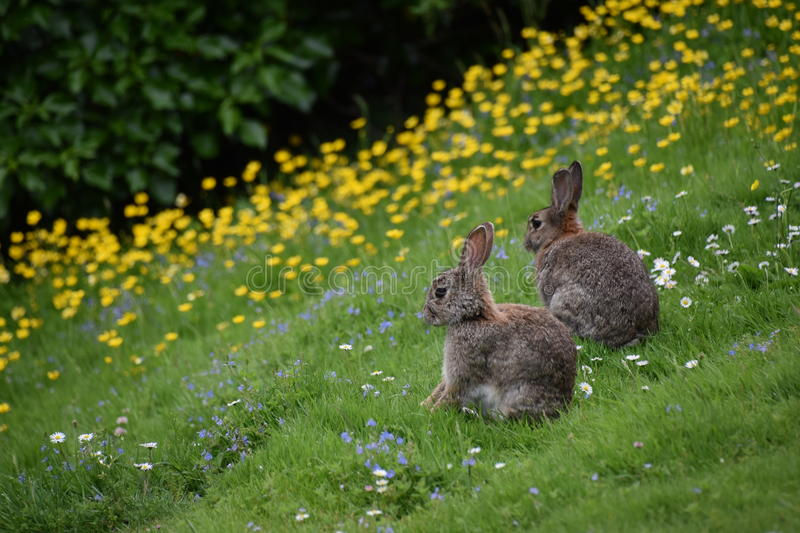 Wild rabbits and flowers royalty free stock photography