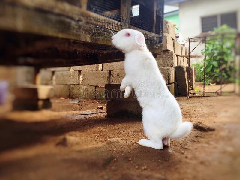Wild Rabbits standing on two legs and alert stock photography