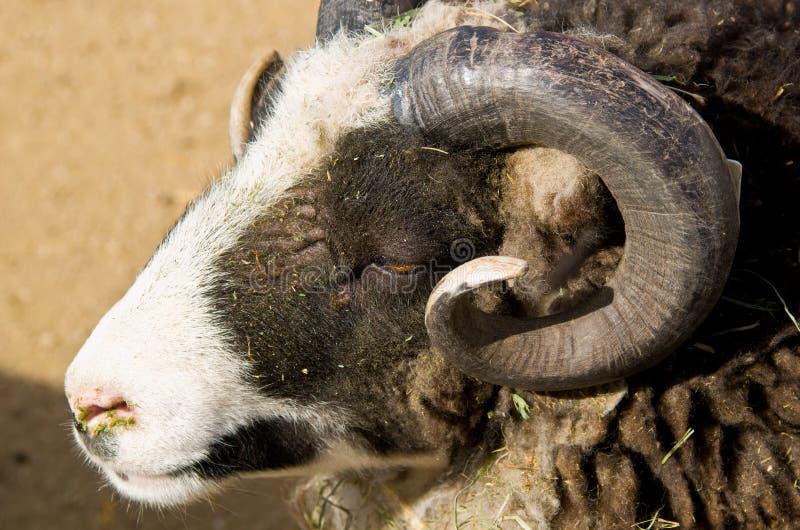Download Wild Ram stock image. Image of mammal, wild, view, farm - 24582775
