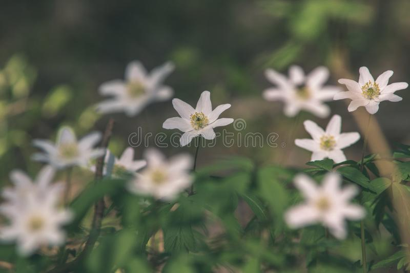 Wild random flowers blooming in nature - vintage retro film look. Wild random flowers blooming in nature with green foliage in meadow field - vintage retro film royalty free stock image