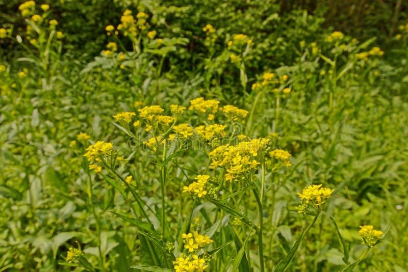 Rape seed flowers in Thuringia. Wild rape seed flowers in a wood near Erfurt royalty free stock image
