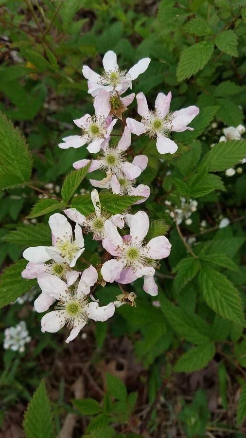 Wild Raspberry Flowers stock images