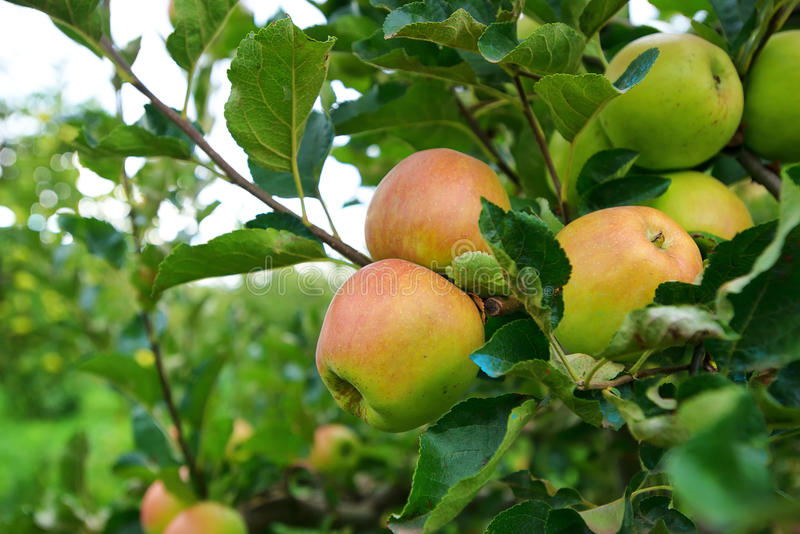Wild red apples on a branch with green leaves stock photography
