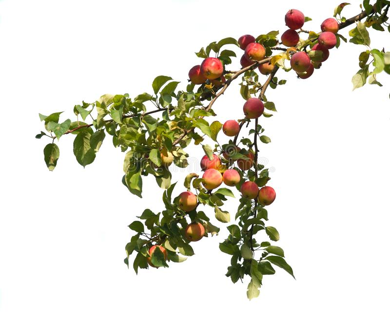 Wild red apples on a branch stock photo