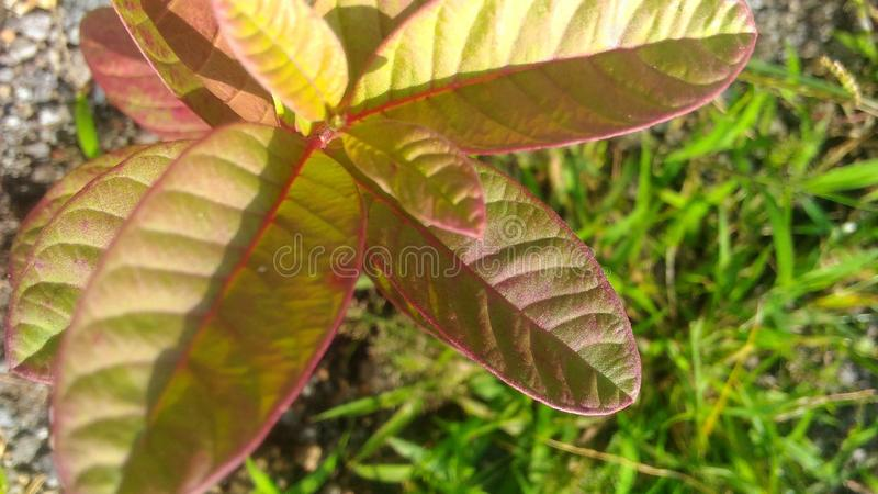 Rered baby guava fruit in the morning side, wallpaper royalty free stock image