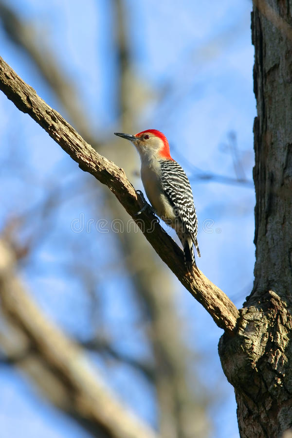 Wild Red Bellied Woodpecker in Warm Sunset Light. Wild Red Bellied Woodpecker Clinging to a branch in Warm Sunset Light royalty free stock photos