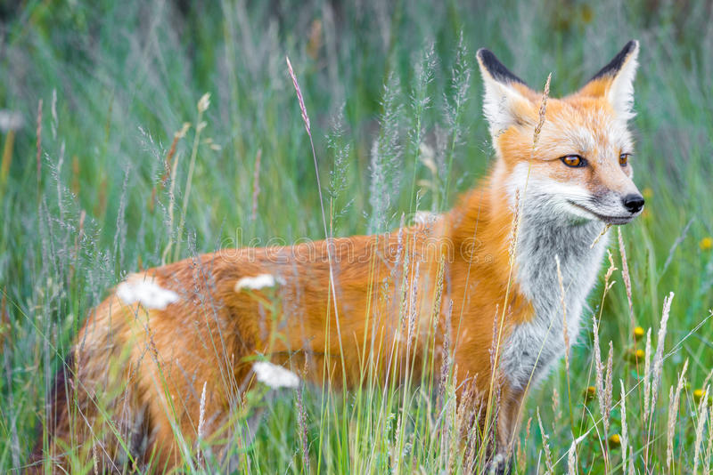 Wild red fox in green grass royalty free stock photography