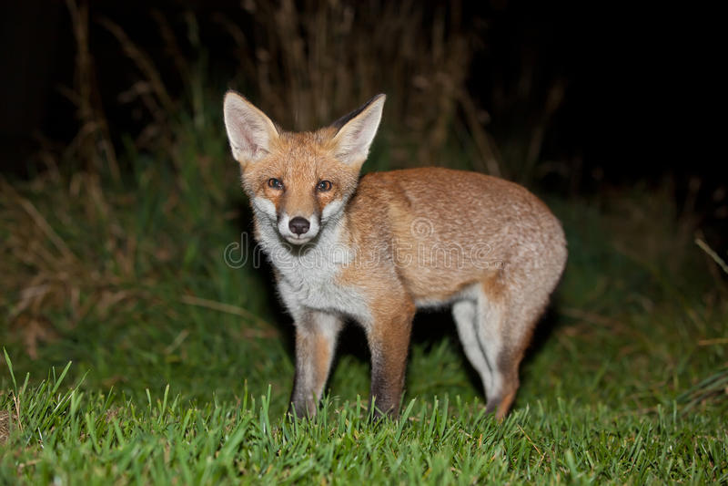Wild Red Fox Stock Image