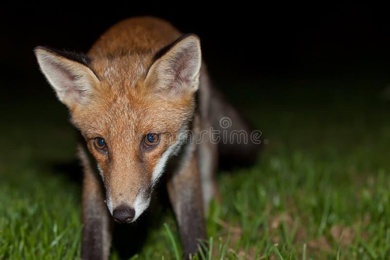 Download Wild red fox stock image. Image of national, predator - 32659267