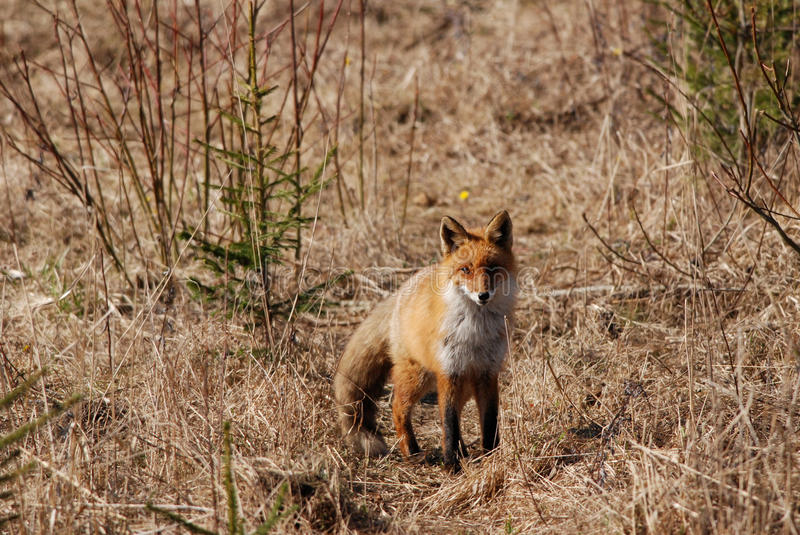 Red Fox. Wild red fox in spring on the meadow stock photos