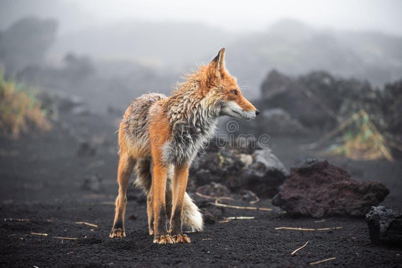 Wild Red Fox Vulpes vulpes beringiana standing on black sand. Kamchatka Peninsula, Russia. Wild Red Fox Vulpes vulpes beringiana standingon black sand. Kamchatka royalty free stock photography