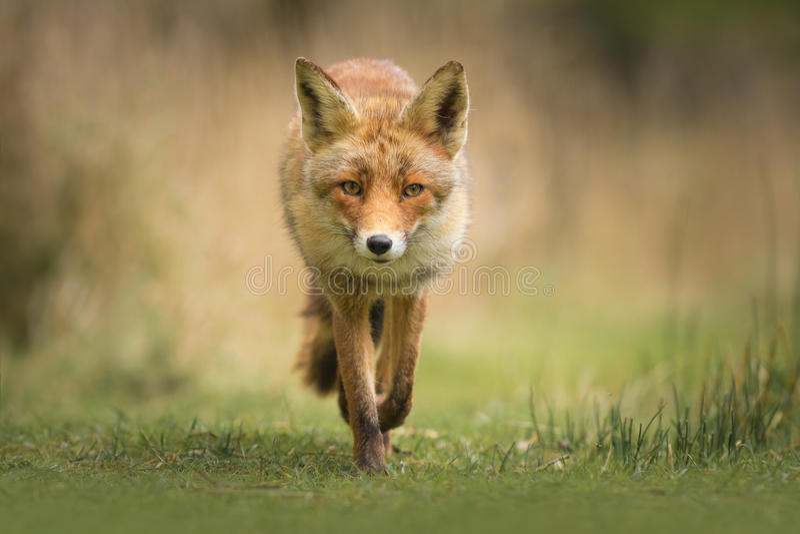 Wild red fox royalty free stock photos