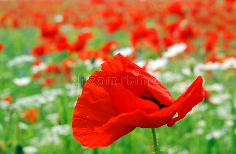 Wild red poppies. Flowering in field. Focus on single poppy in foreground royalty free stock photo