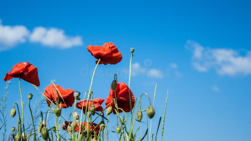 Wild red poppies flowers against blue sky. Red poppies flowers against blue sky stock image