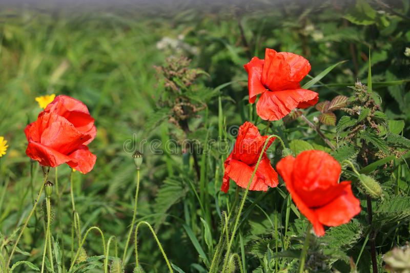 Wild red poppies growing in a field. royalty free stock photography