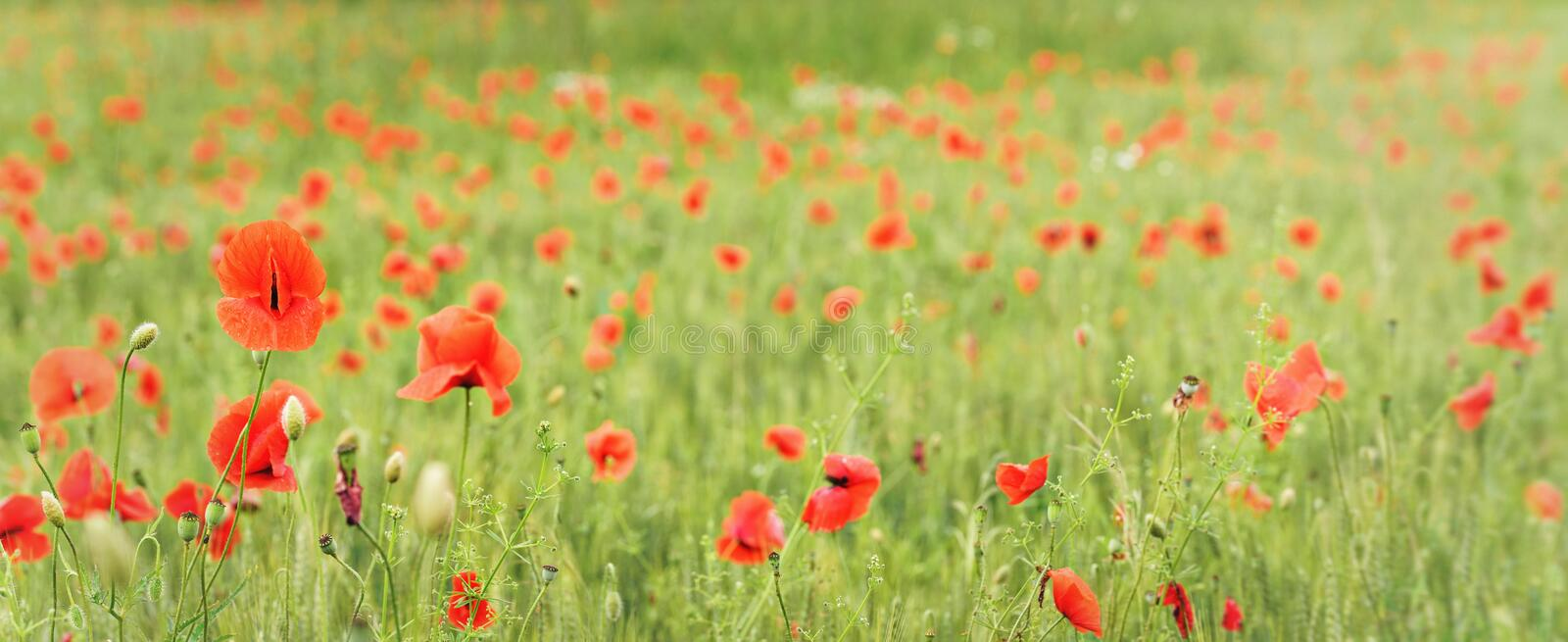 Wild red poppies growing in green wheat field, wide panorama banner royalty free stock photos