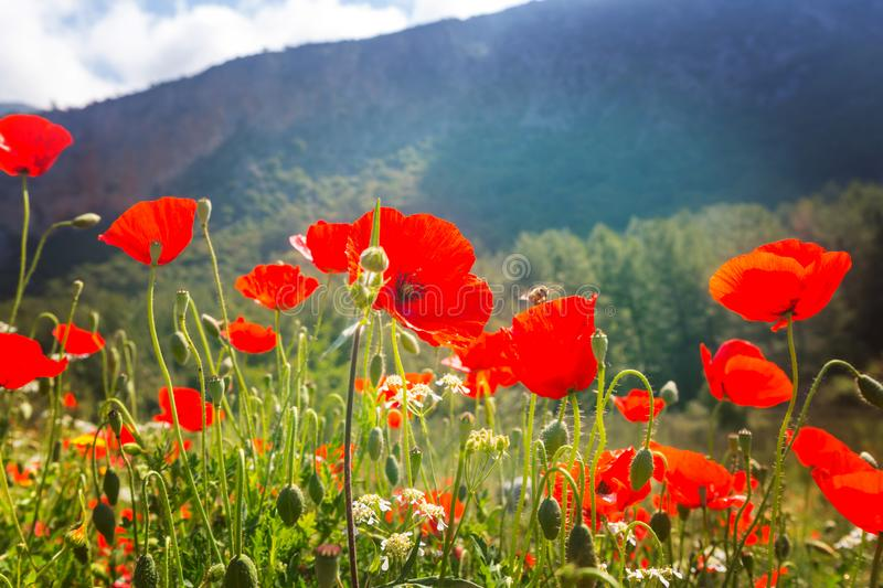 Poppy. Wild red poppies on the meadow in sunny day. Decorated with light spots stock photos
