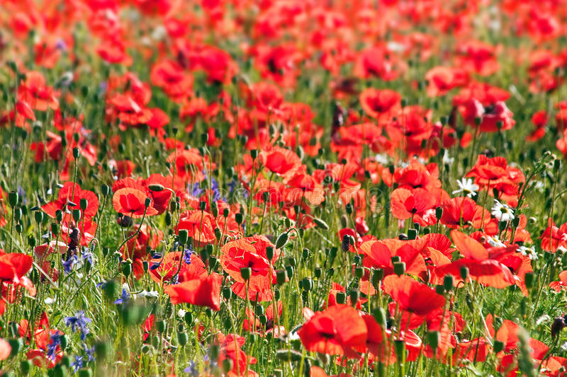 Wild red poppy. Flowers on field royalty free stock photos