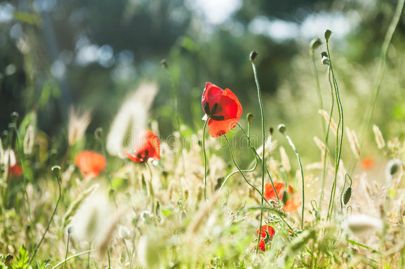 Wild red poppy flowers in a forest meadow. royalty free stock photography