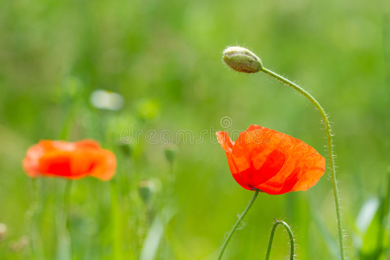 Download Wild Red Poppy Flowers stock image. Image of beauty, field - 41250259