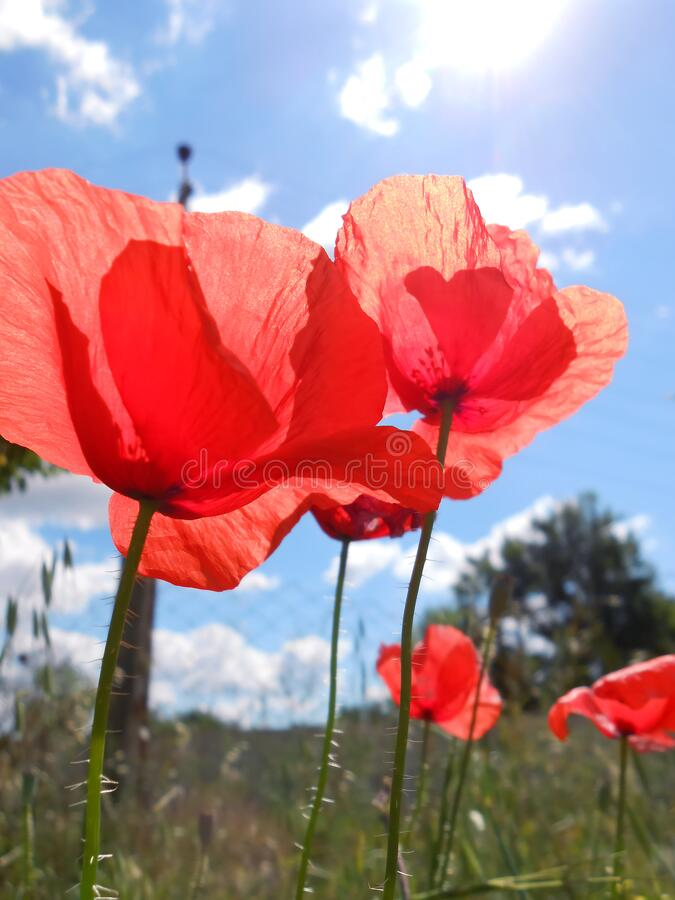 Wild Red poppy flowers nature background. Blue sky stock image