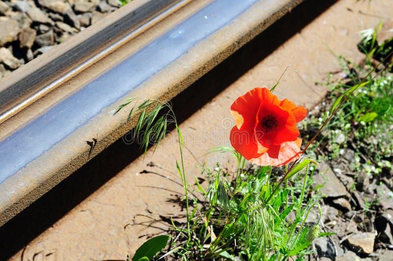 Wild Red Poppy Near Railway Royalty Free Stock Images