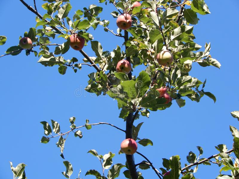 Wild red and ripe apples on tree against bright blue sky stock photo