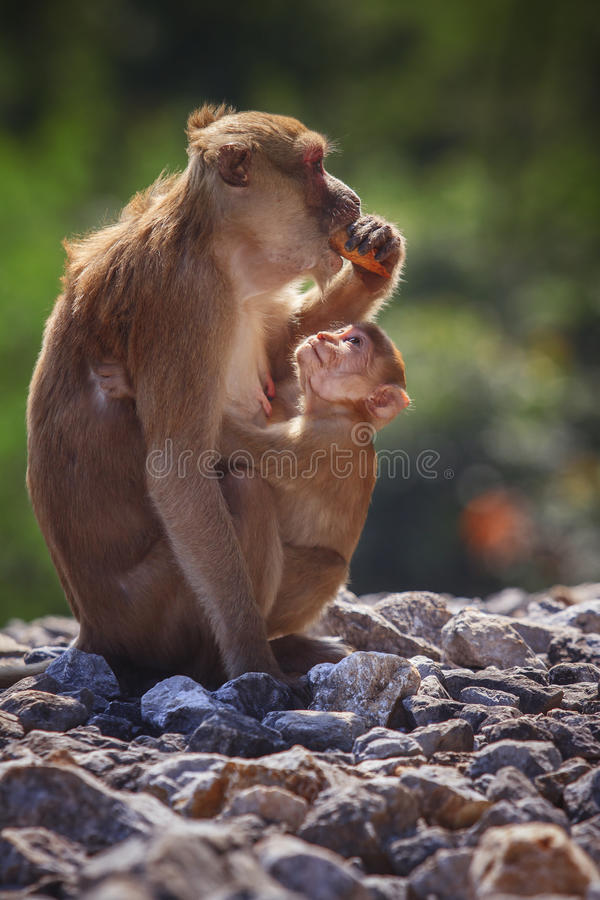Wild Rhesus macaque monkey and young baby looking to monkey moth royalty free stock photos
